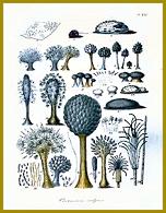 Cordova litografie z díla o mikroskopických houbách