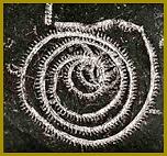 (Polostrunatec) Graptolit Octavites spiralis (G.) Praha, Velká Chuchle, Vyskočilka